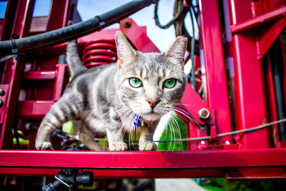 Photograph of Goose the Cat of Allison's Farm Market, Georgetown