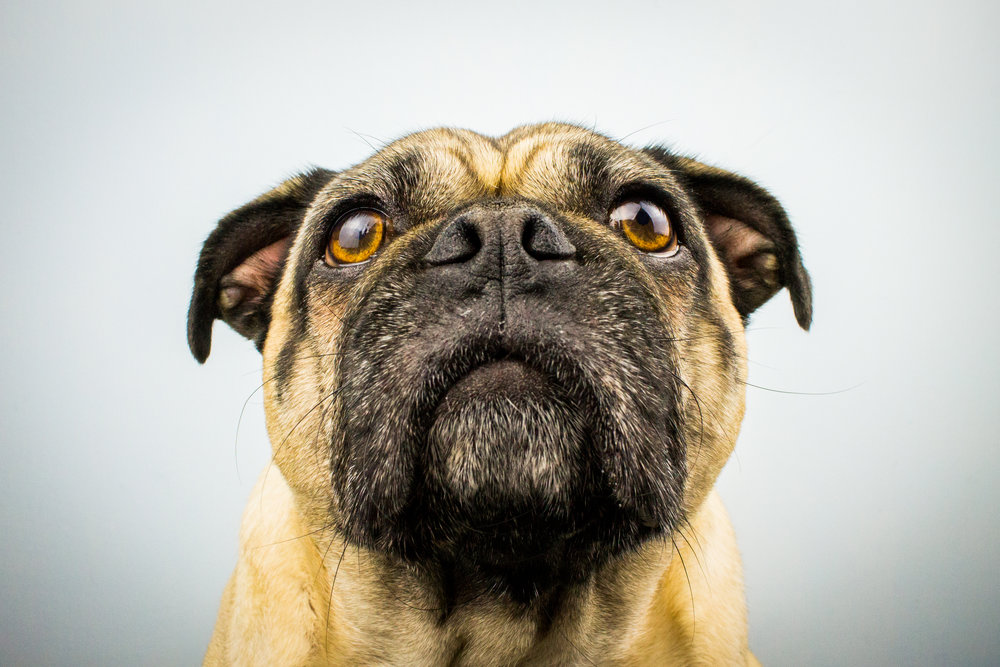 Photograph of a Pug by Dog Photographer - Brent D'Silva. Brampton, Ontario.