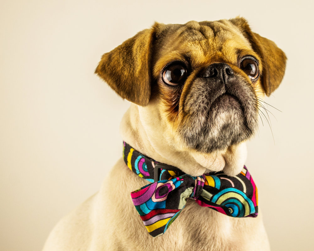 Chunky Playboy the Pug by Pet Photographer - Brent D'Silva