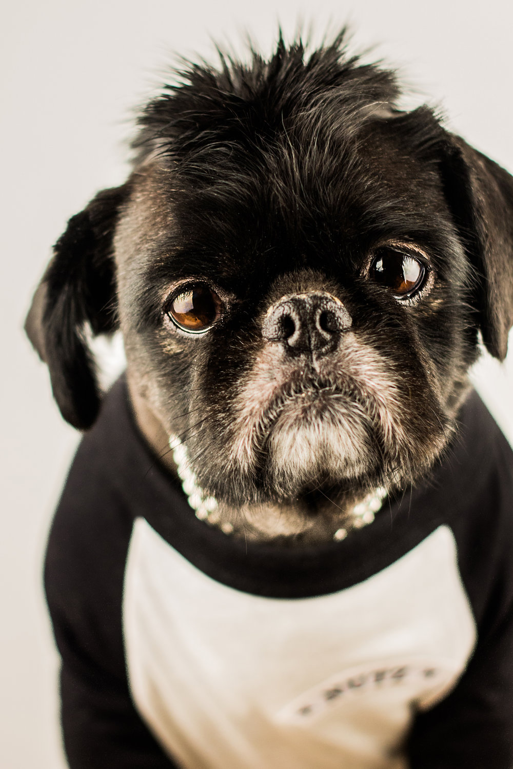 Nutz - Pug with a Mowhawk and T-Shirt