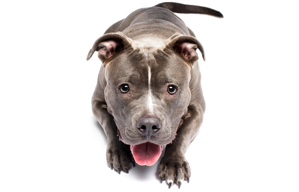 Portrait of American Bulldog/Bully Posing in Studio by Brent D'Silva the Dog Photographer
