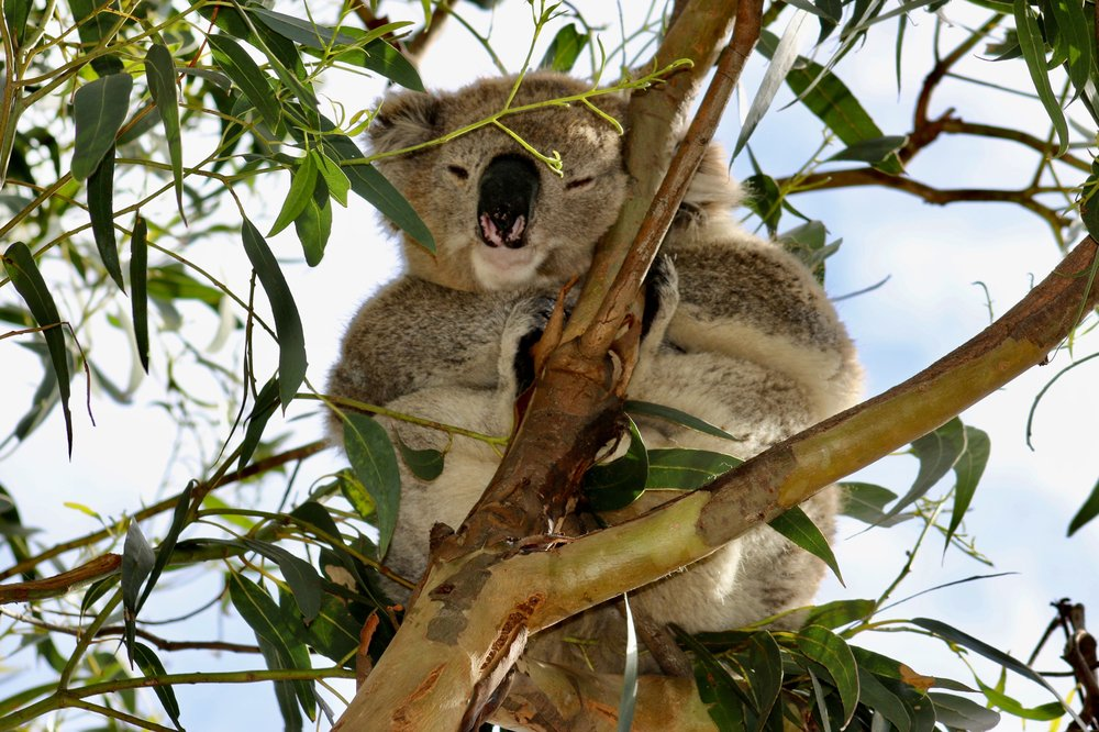 Cuddly Koala, the Great Ocean Road, Australia