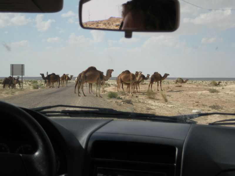 camels on the road, tunisia