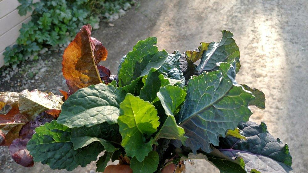 black-tuscan-kale_scarlet-kale