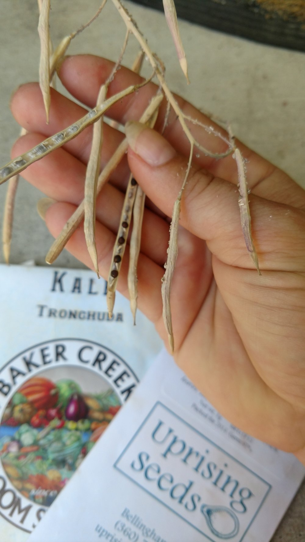 portuguese-kale_seeds_troncha