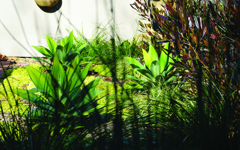 plants  On the extremes of the Shades of Green we have the Black Rose Aoenium and the silver Echevaria with the wispy Chondropetalum as a middle green. We choose an Arbor Mulch to keep moisture in the soil and discourage weeds.