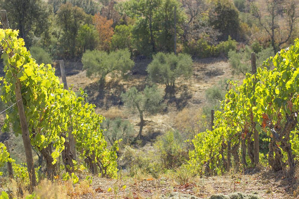 2-Morellino-di-Scansano-Wine-production-Farmhouse-Azienda-Vinicola-Casale-Val-delle-Vigne-Scansano-Maremma-Tuscany-For-sale-country-homes-in-Italy-Antonio-Russo-Real-Estate.jpg