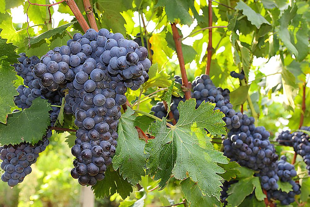 3-Morellino-di-Scansano-Wine-production-Farmhouse-Azienda-Vinicola-Casale-Val-delle-Vigne-Scansano-Maremma-Tuscany-For-sale-country-homes-in-Italy-Antonio-Russo-Real-Estate.jpg