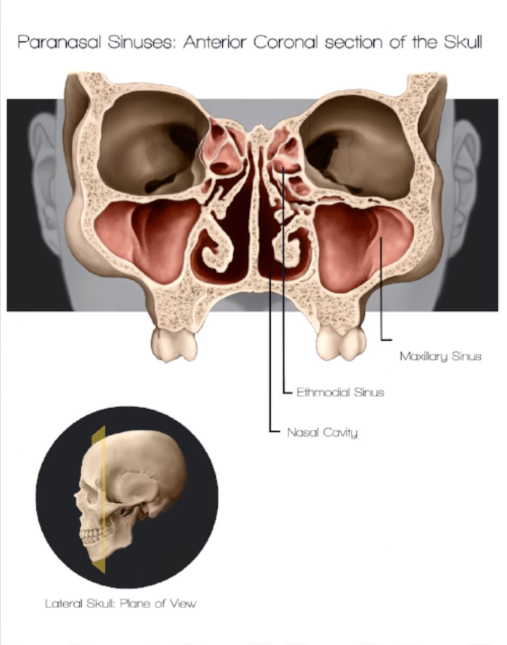 Groß Anatomy Of The Paranasal Sinuses Galerie - Anatomie Ideen ...