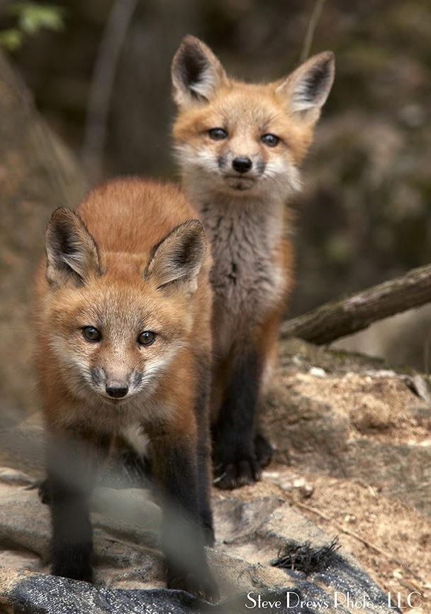 Two Foxes.jpg