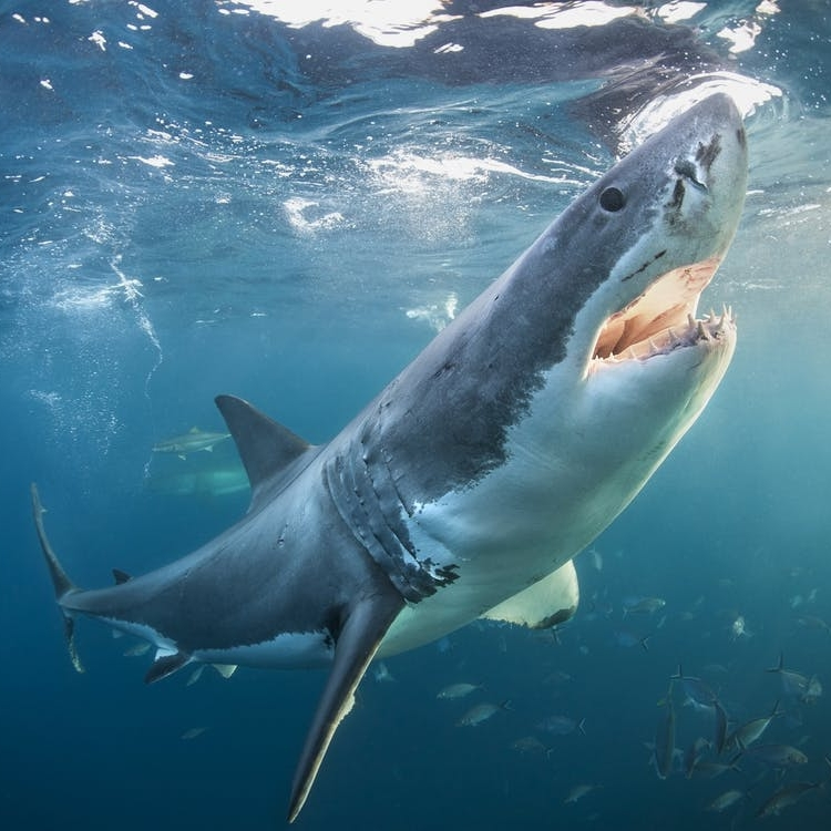 From South Africa to Bali, These Trips Let You Live Every Week Like It's Shark Week - BRIT + CO: For the adventurous traveler who likes their vacation with a serious side of danger, shark diving is an impossible-to-resist temptation.(22 July 2018)