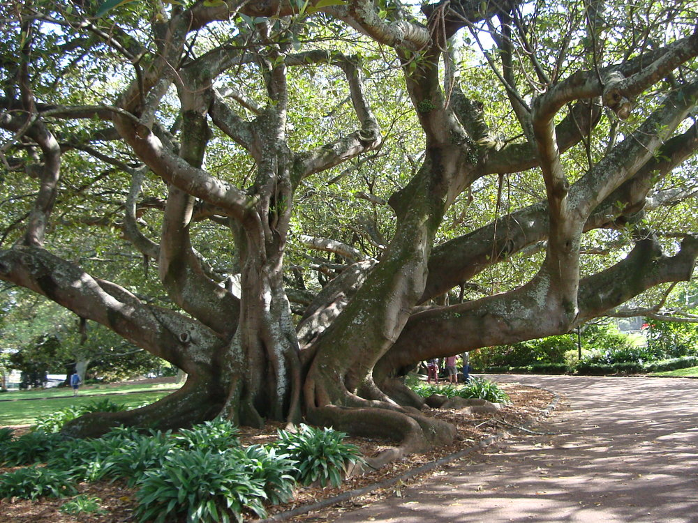 Morton Bay Fig Albert Park.JPG