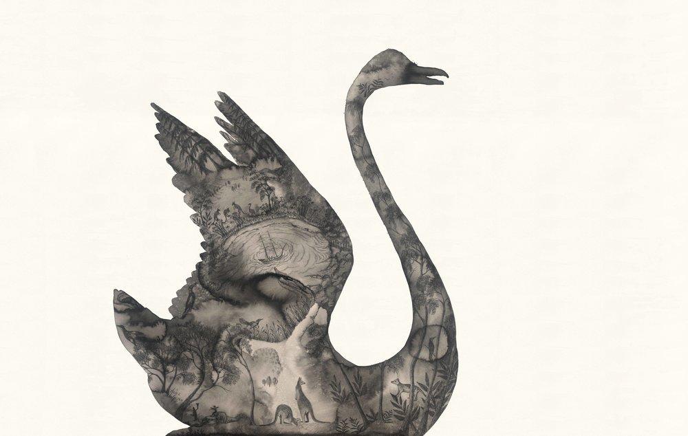 Black Swan After Port Jackson Painters | Artist - Anna Glynn