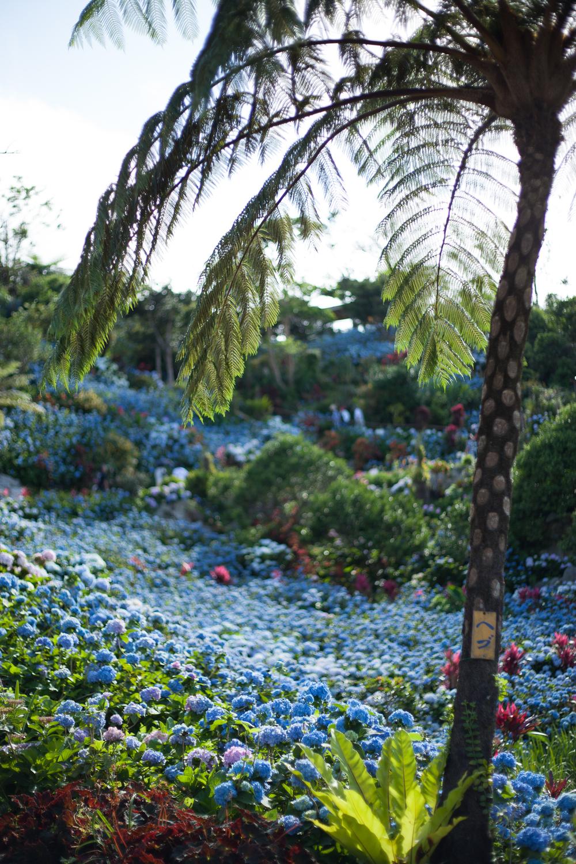 Hydrangea Garden, Okinawa, Japan