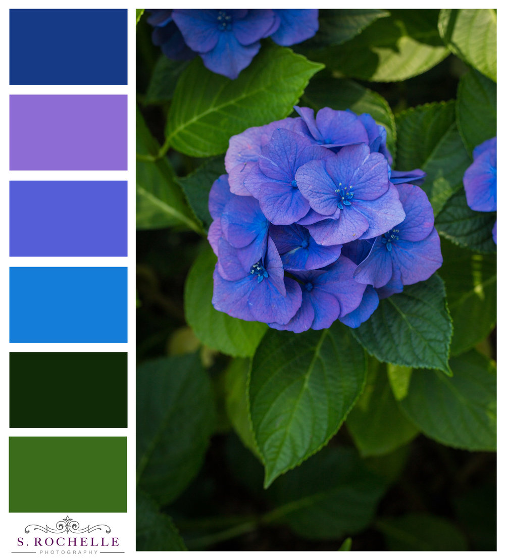 Hydrangea_S_Rochelle_Photography_20170730_IMG_6397_ColorPalatte.jpg