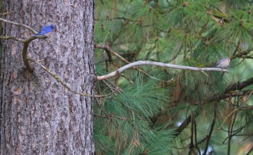 Mating Pair of Mountain Bluebirds