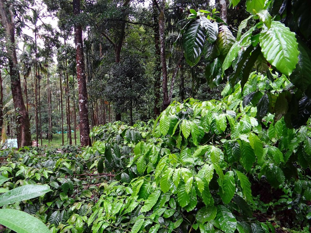 coffee-plantation-345367_1920.jpg