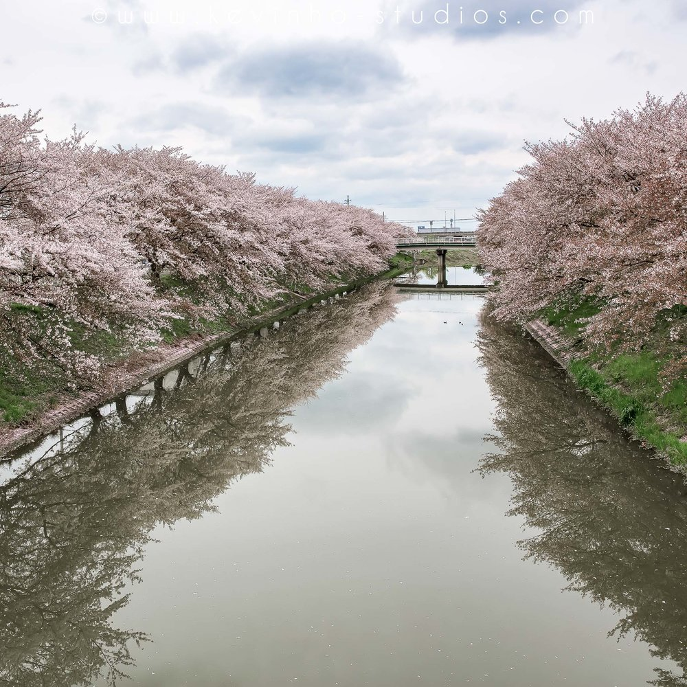 Beautiful pink Sakura trees line both sides of the river bank!
