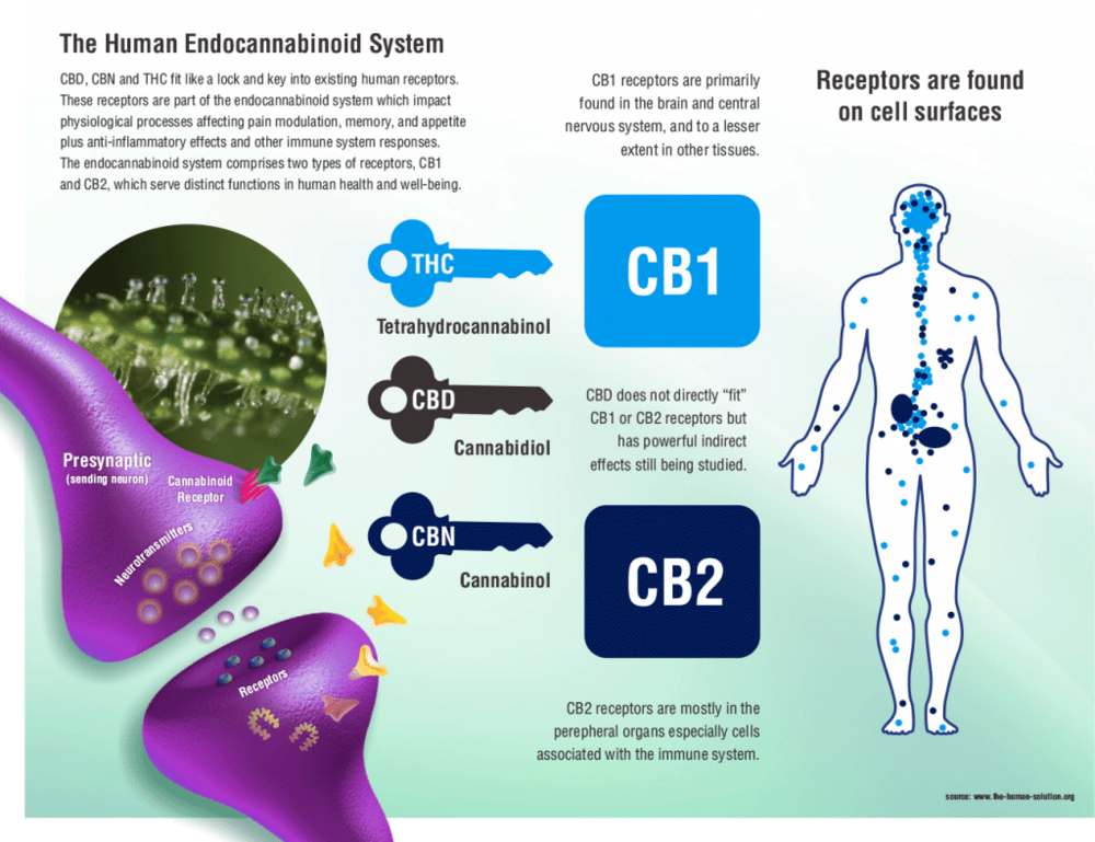 The EndoCannabiniod System is very complex and can have links to fitness and wellness. THC and CBD help to regulate your body and protect from cell damage. Cannabis is a cure.