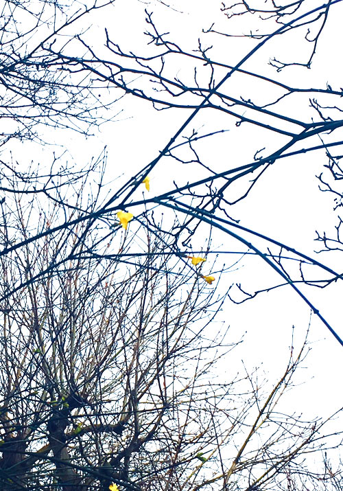 Wintersweet a walk in Stamford