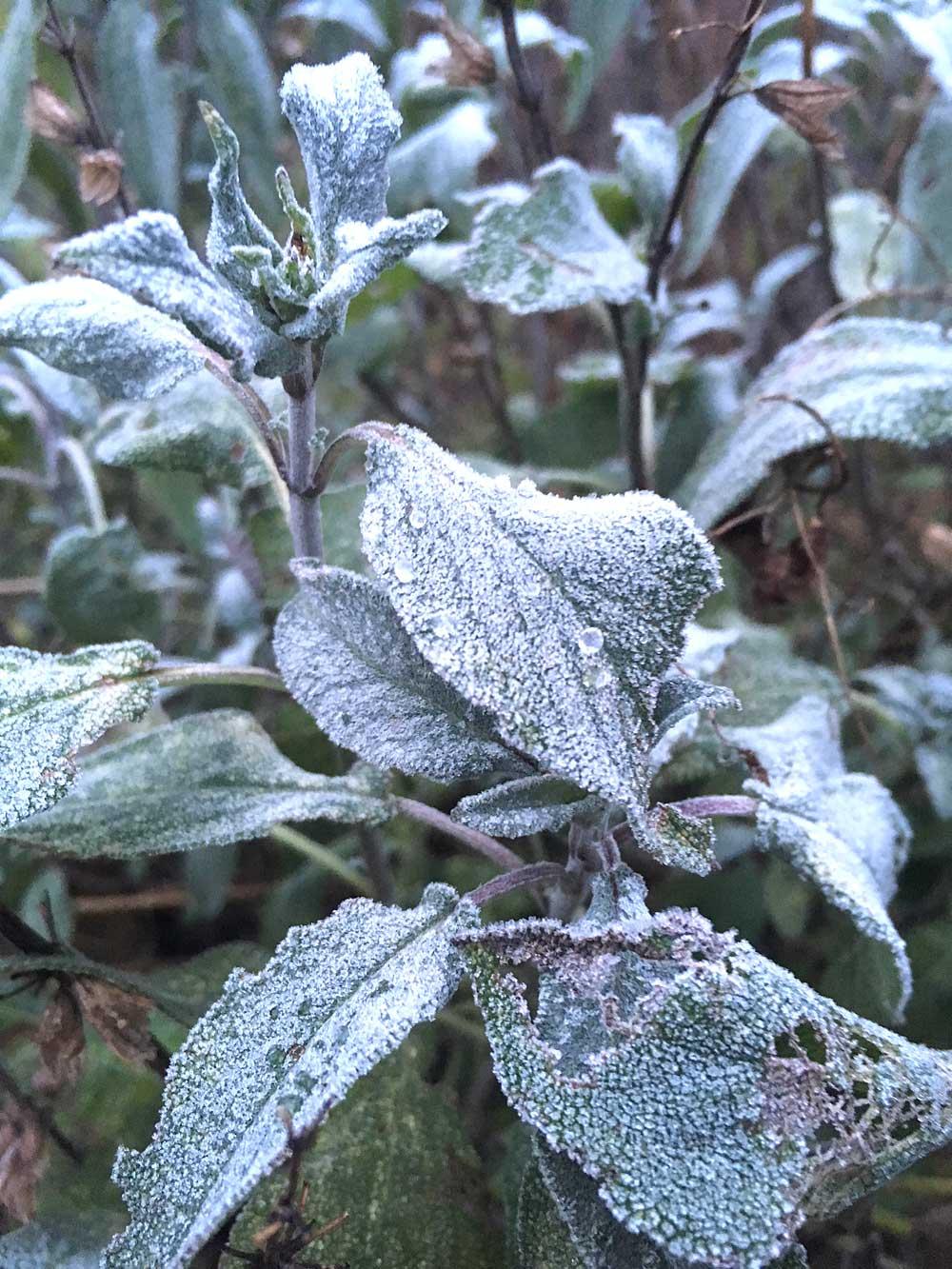 Frost-Sagew.jpg