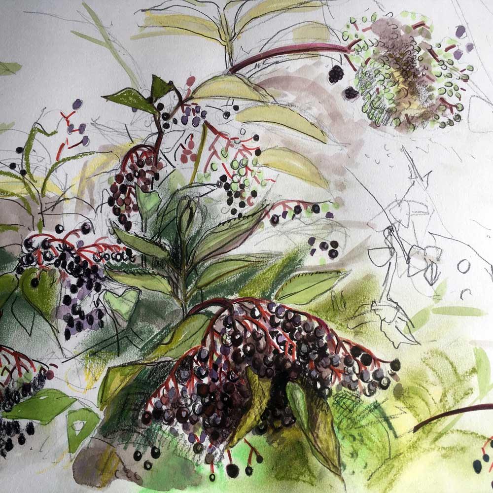 Elderberry Sketch From Charlie's Plot