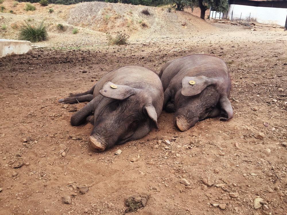 Iberico Schweine Schinken Bellotta Vom Einfachen das Gute