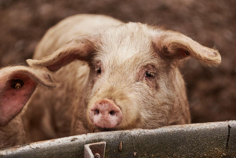 Potsdamer-Sauenhain-Regionales-Schweinefleisch