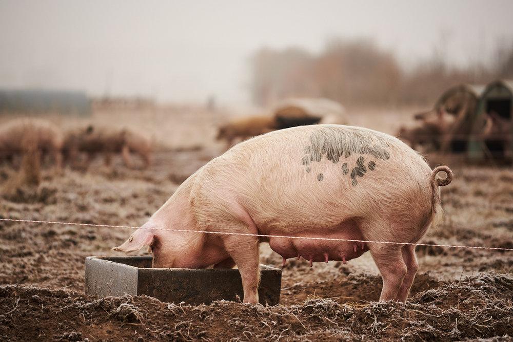 Schwein-Gutes-Leben-Postdamer-Sauenhain
