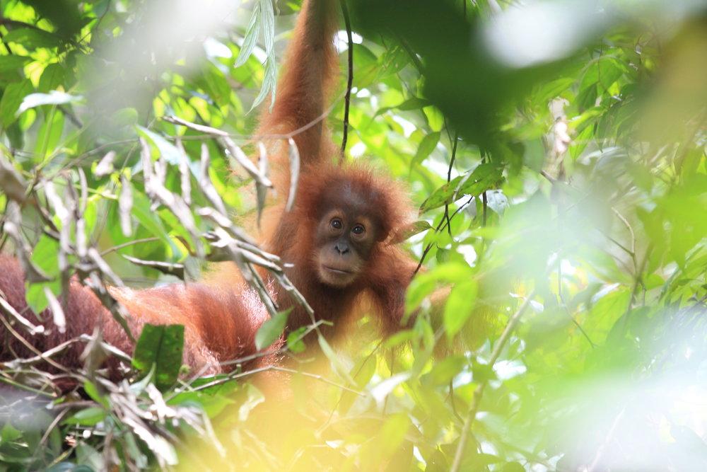 orangutan_1_Foto_Regenwald GmbH.jpeg