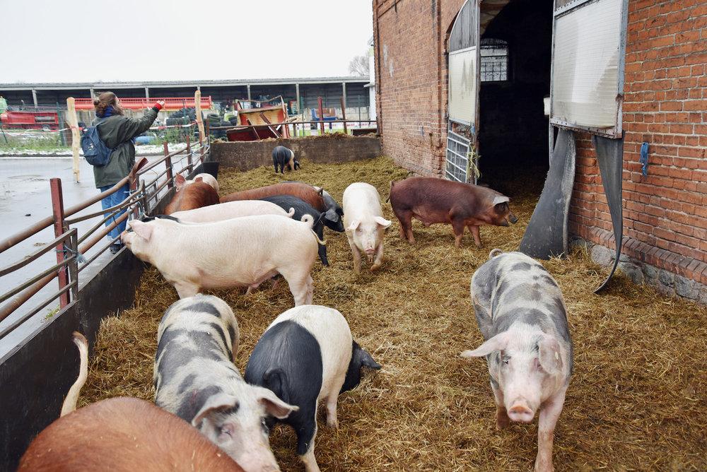 schweine-gut-kerkow