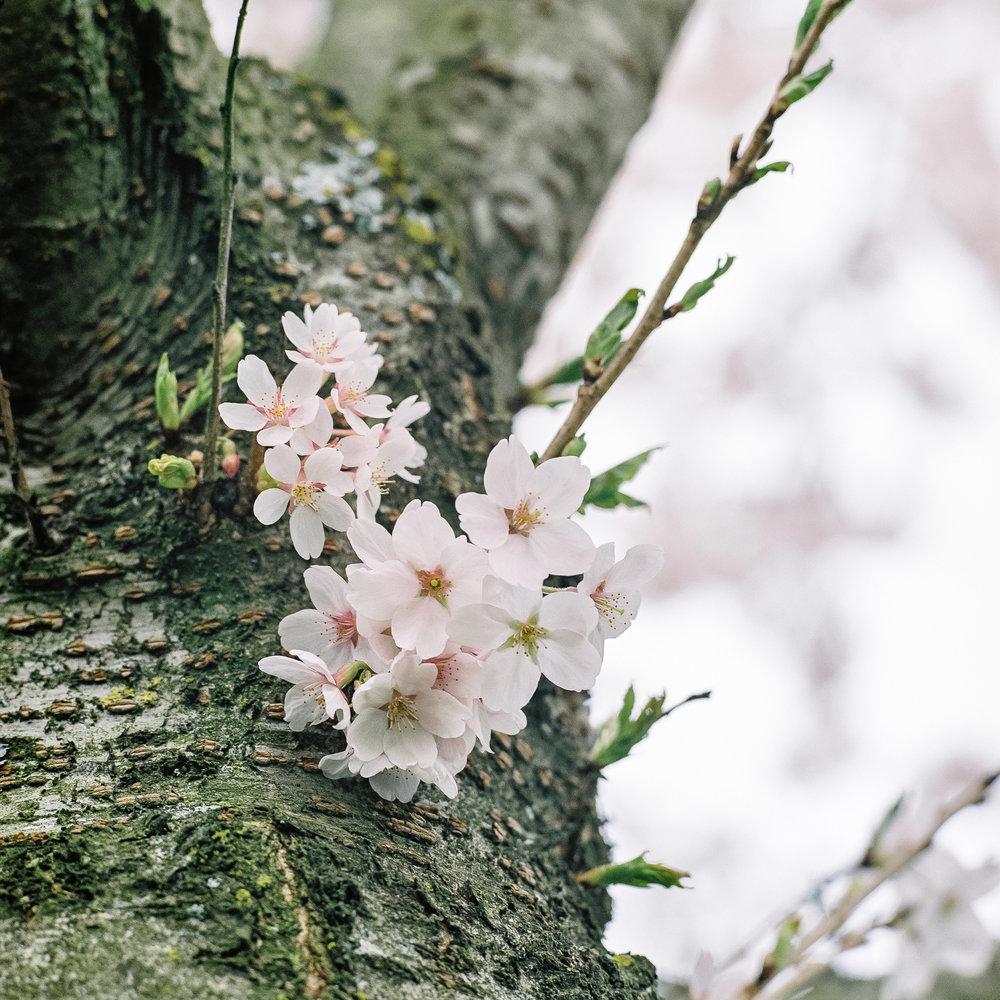 Week 15 - Blossom-000001.jpg