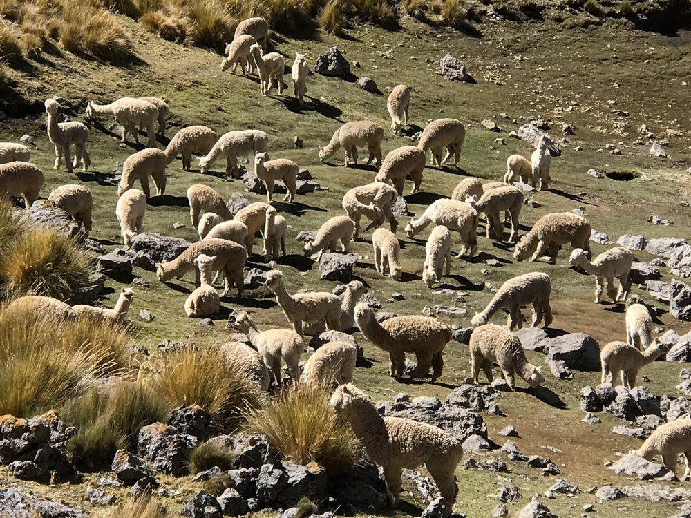 Alpacas in the Huayhuash