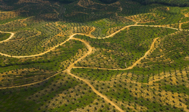 A huge, huge palm oil plantation.
