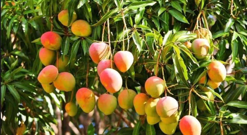 mango farm.PNG