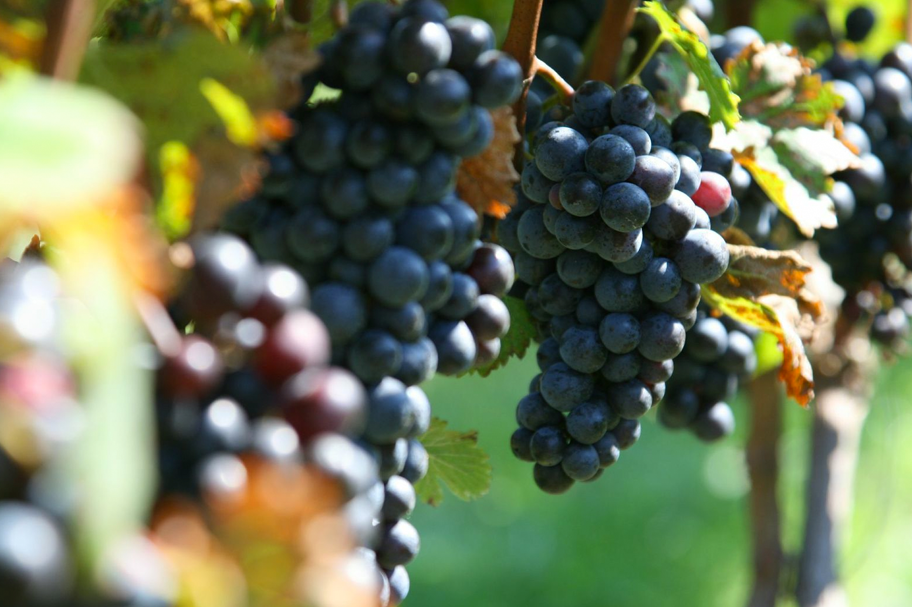 vineyard3.png