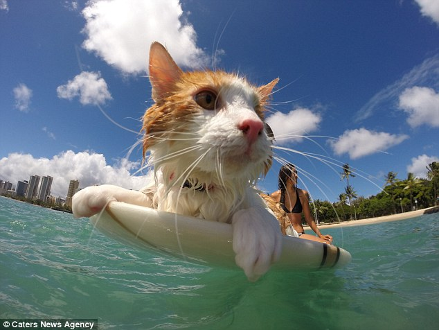 Surfer cat
