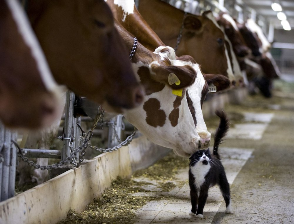 dairy-cows-nuzzle-a-barn-cat-as-they-wait-to-be-milked-at-a-farm-in-granby-canada.jpg
