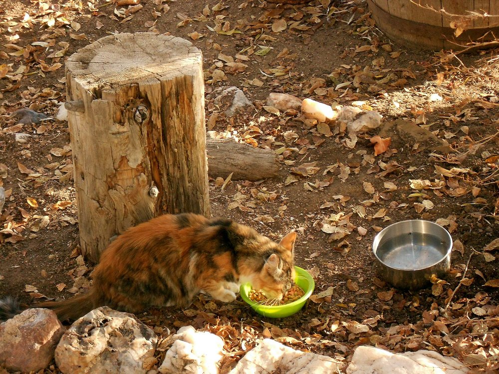 Female_feral_cat_feeding.jpg