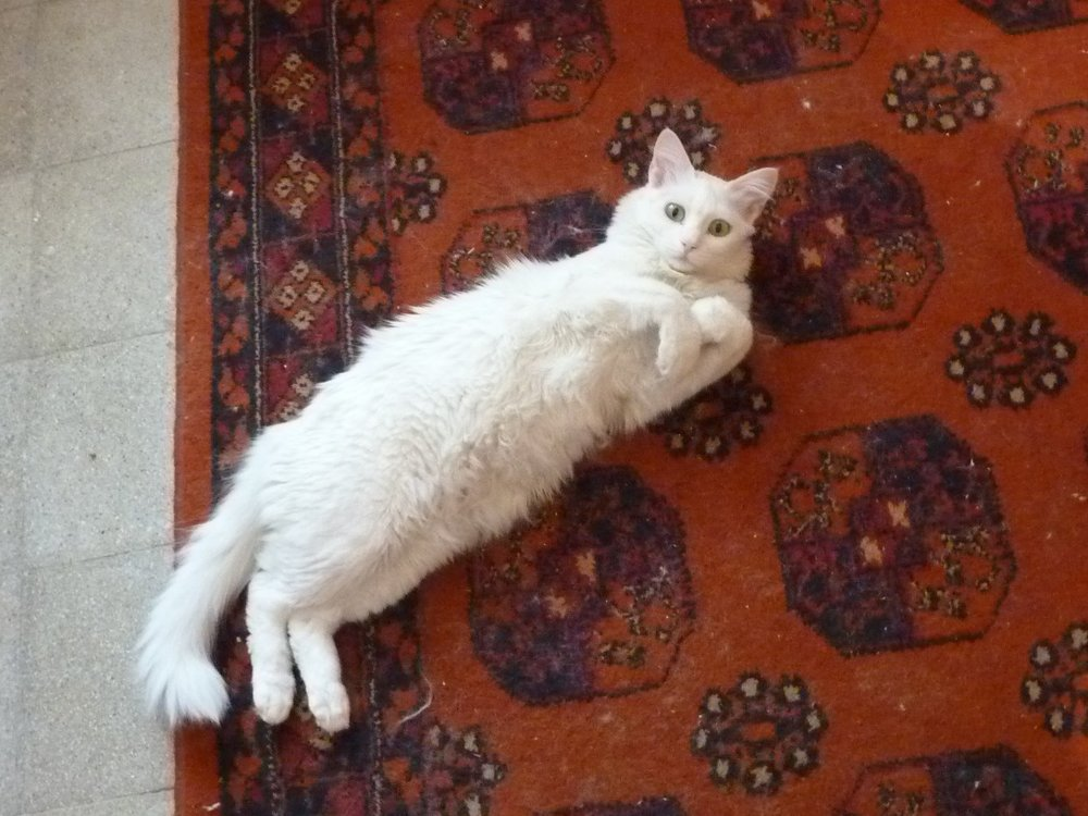 Cat_on_Rug_4668099379.jpg