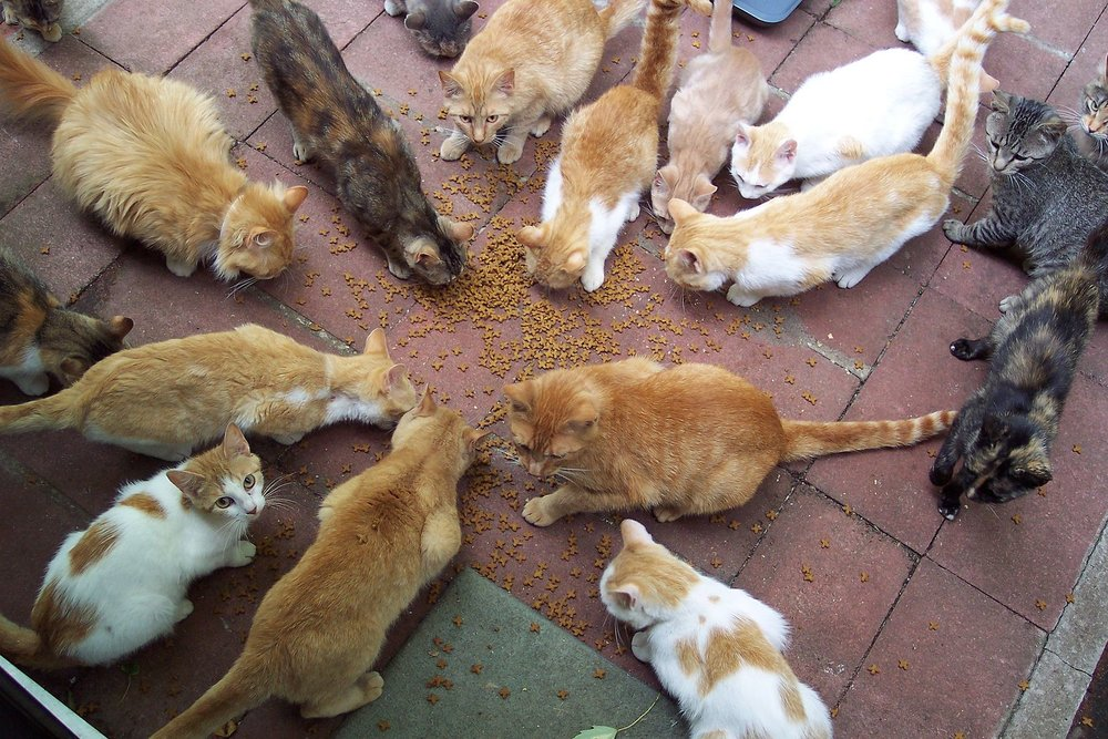 Group_of_cats_circle_around_catfood.jpg