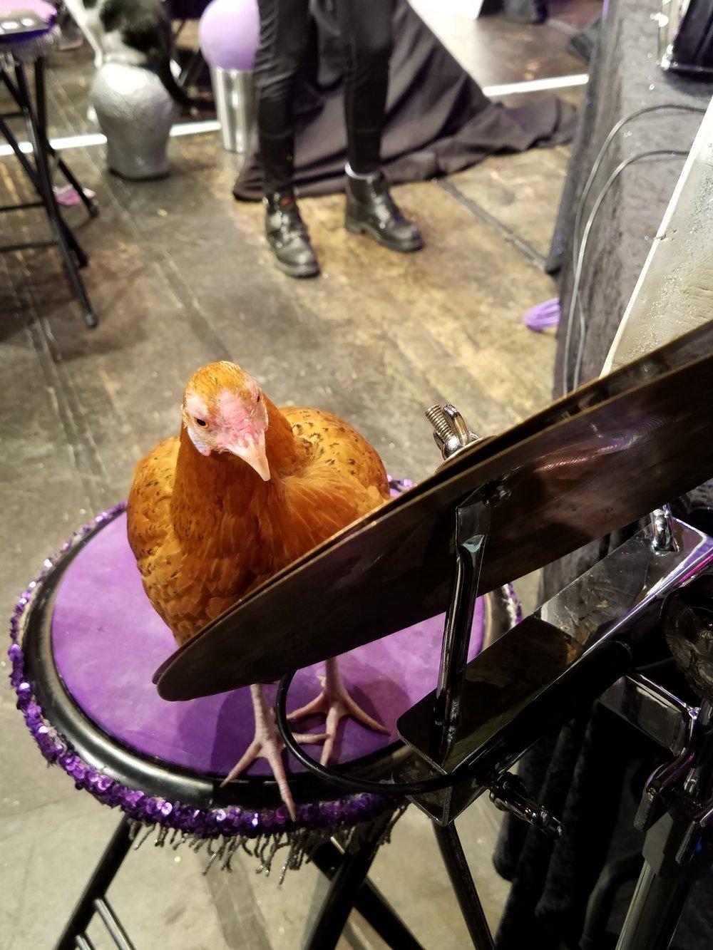 cluck-norris-acro-cats-chicken-drummer