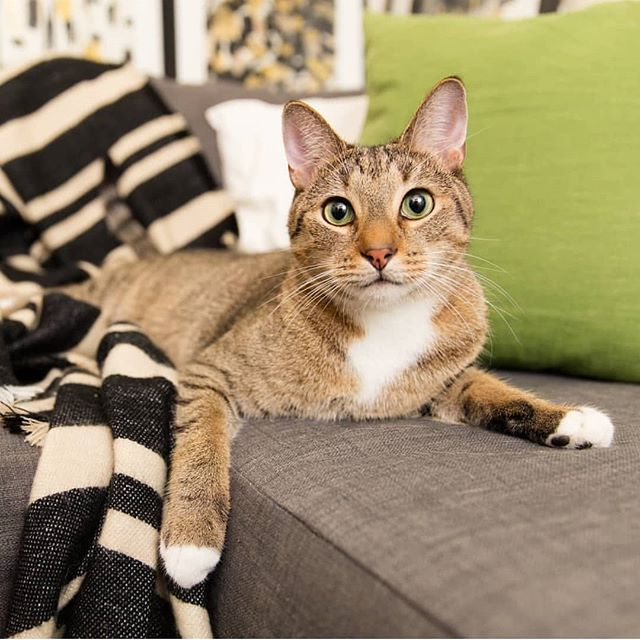 Get a load of Thomas's blue steel! 👀 I think he has a new career as a professional #catmodel 😹 Watch out, Zoolander! @ericalikescats  came to Brooklyn and did a whole photo shoot with him - check out her IG for more pix! 😻 #bluesteel #catsofinstagram