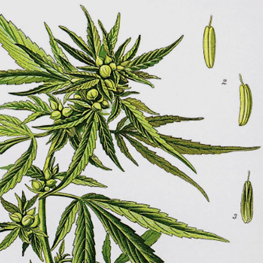 Cannabis_Square.jpg