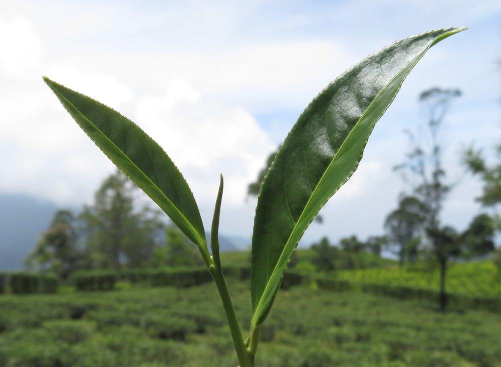 White - Light, sweet, pure leaf tea