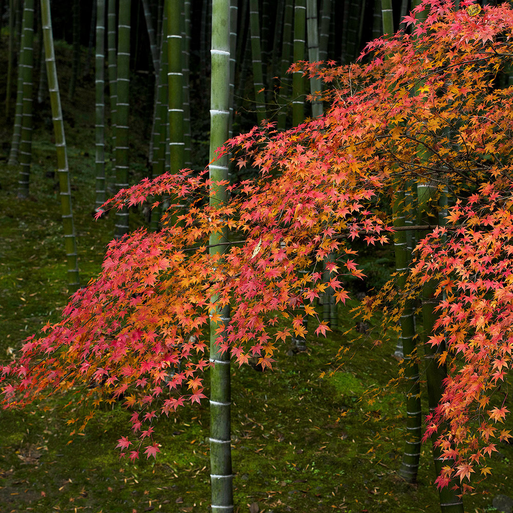 BAMBOO AND RED LEAVES. 1200PX.jpg