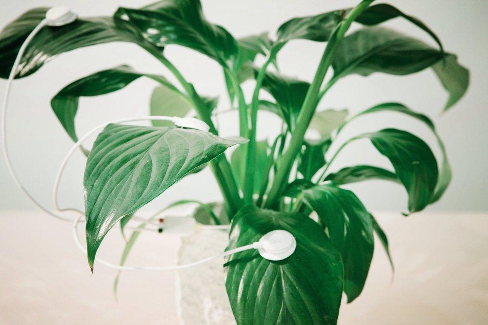 peace plant sonification experiment