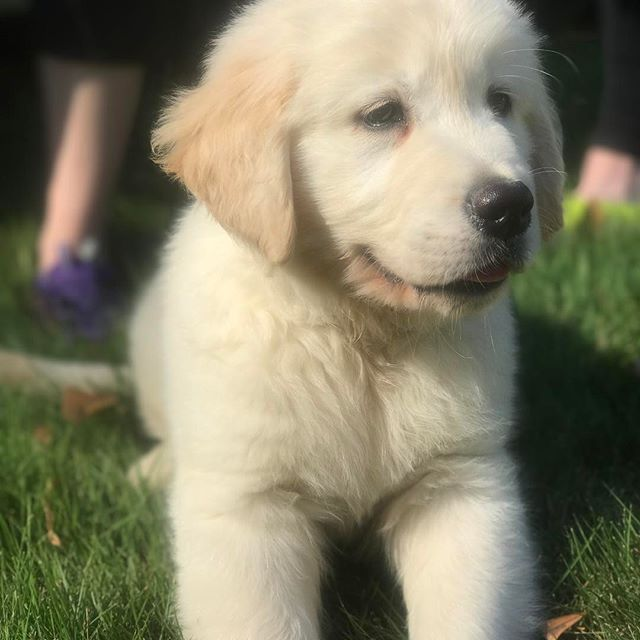 Our neighbors' #goldenretrieverpuppy  #goldenretriever #puppy #fluffy #homesweethomestead