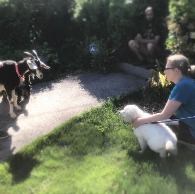 #MattiTheGoat meets the neighbors' #puppy #goldenretriever.  So #fluffy! #interspecieslove #interspecies #interspeciesfriendship #homesweethomestead