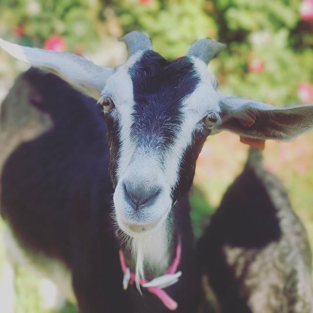 Can't get enough of her sweet face #MattiTheGoat #spanishgoat #goatsofinstagram